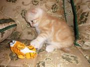 Продаётся плюшевый котенок шотландской вислоухой
